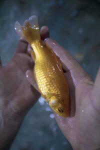 goldfish in hand